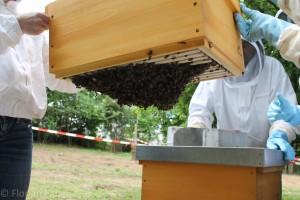 Bienentraube auf den Unterseite von Rahmen hängend. Die Bienen wurden zuvor als Schwarm in die Beute geschlagen.