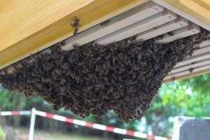 Traube von Bienen unter den Rahmenunterkanten einer Zarge