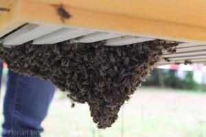 Bienentraube an den Unterkanten von Rahmen hängend