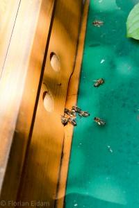 Anflug von Bienen. Sehr gut sind die Pollenhöschen als gelbe Flecken zu erkennen.