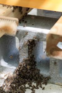 Restliche Bienen nach dem Einschlagen eines Schwarmes. Diese Bienen wandern zurück zu ihrem Volk, klettern nach oben und ziehen durch das offene Anflugloch in die Beute ein.