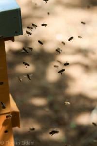 Bienen im Anflug zu ihrer Wohnung, dem Bienenstock oder Beute