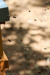 Bienen im Anflug zu ihrer Beute