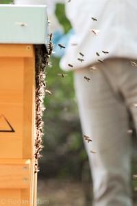 Bienen im Anflug zu ihrer Beute nach dem Einschlagen des Restvolkes in das Beuteninnere