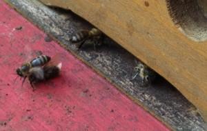 Eine tote Biene wird aus dem Bienenstock getragen.