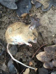 Ein Eindringling in eine Beute - trotz Mäusesperre