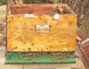 Ansitzende Bienen auf der alten Beute