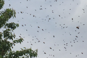 Lauter schwärmende Bienen