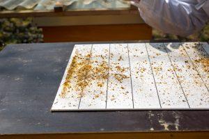 """Auf der """"Windel"""" liegen die Abfälle einer Bienenbeute zur Begutachtung"""